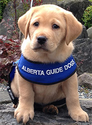 BC & Alberta Guide Dogs Brady